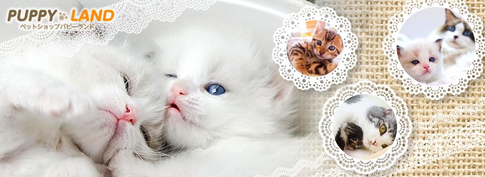 名古屋大須の猫専門ペットショップ・ブリーダーなら